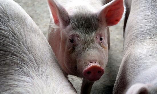 中国买猪影响测算:国内缺口难补,国际猪价必涨